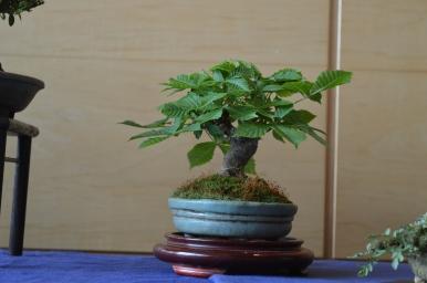 Rosskastanie mit mini Blätter
