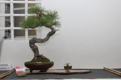 Pinus Nigra/Austriaco/V.Zurl/AUT