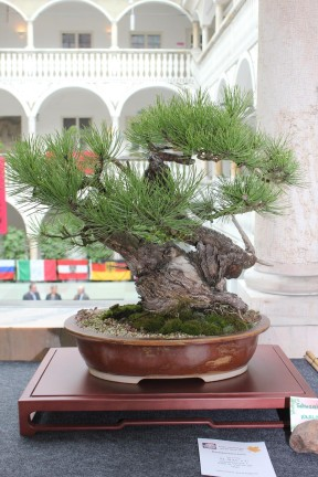 Pinus Nigra/Austriaco/J.Kralovec/AUT
