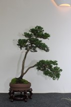 Hinoki-Scheinzypresse