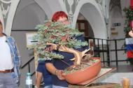 juniperus prokumbens/Demobaum/E.Wewerka/AUT
